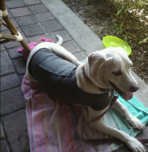 Daisy out to lunch in her Thundershirt