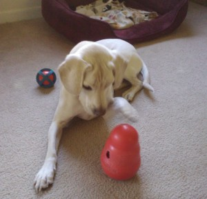 Daisy loves her KONG Wobbler!