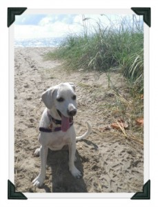 white lab puppy at the beach, sand and ocean, walgreen's photo deal