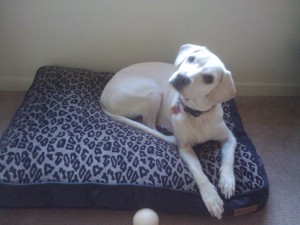 cute white lab puppy on her dog bed, P.L.A.Y. Dog Bed