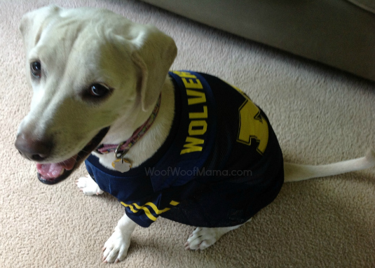Michigan Wolverines dog jersey, cute dog in football jersey, daisy, go blue, dogs