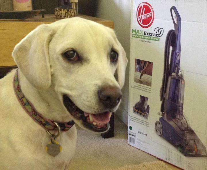 cute white lab puppy, hoover max extract 60 carpet cleaner