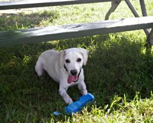 white lab, cute dog, dog picnic, picnic bench, national picnic month