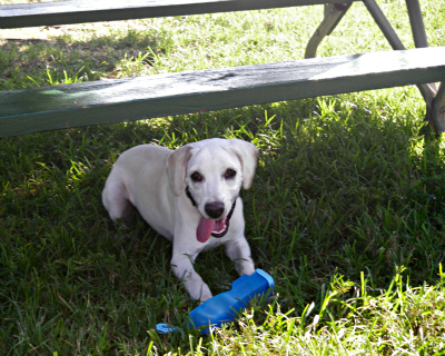 white lab, cute dog, dog picnic, picnic bench, national picnic month