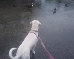 daisy ducks rain
