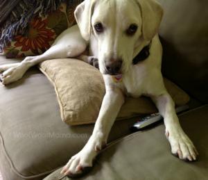Daisy remote control, dog on sofa