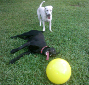 Daisy and Fin test the indestructible dog toy Varsity Ball