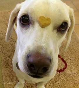 daisy dog balancing heart shaped cookie on her face