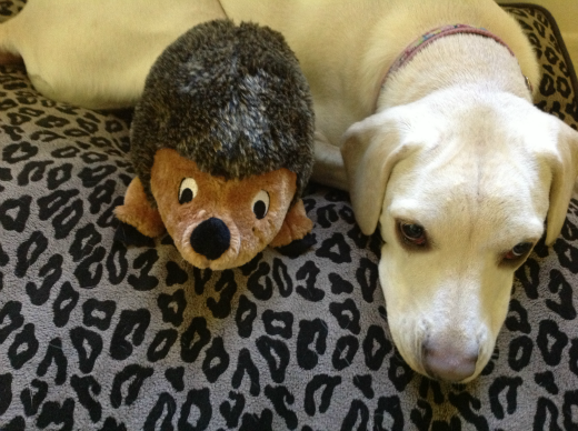 daisy the dog with her hedgehog dog toy