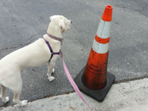 Daisy checking out the traffic pylons