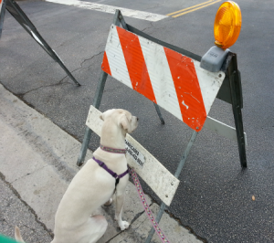 funny dog pic of barracade road work