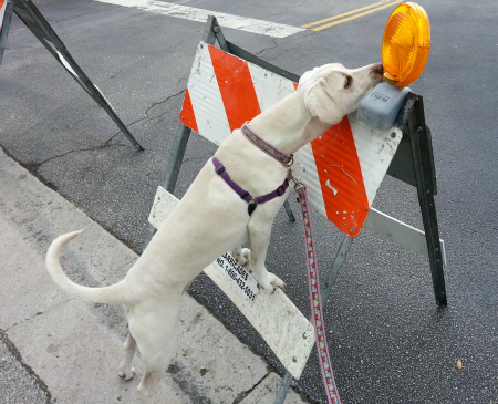 road work dog photo