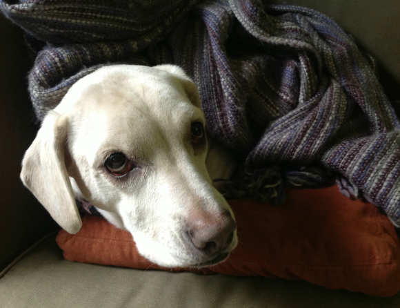 cold dog under blanket